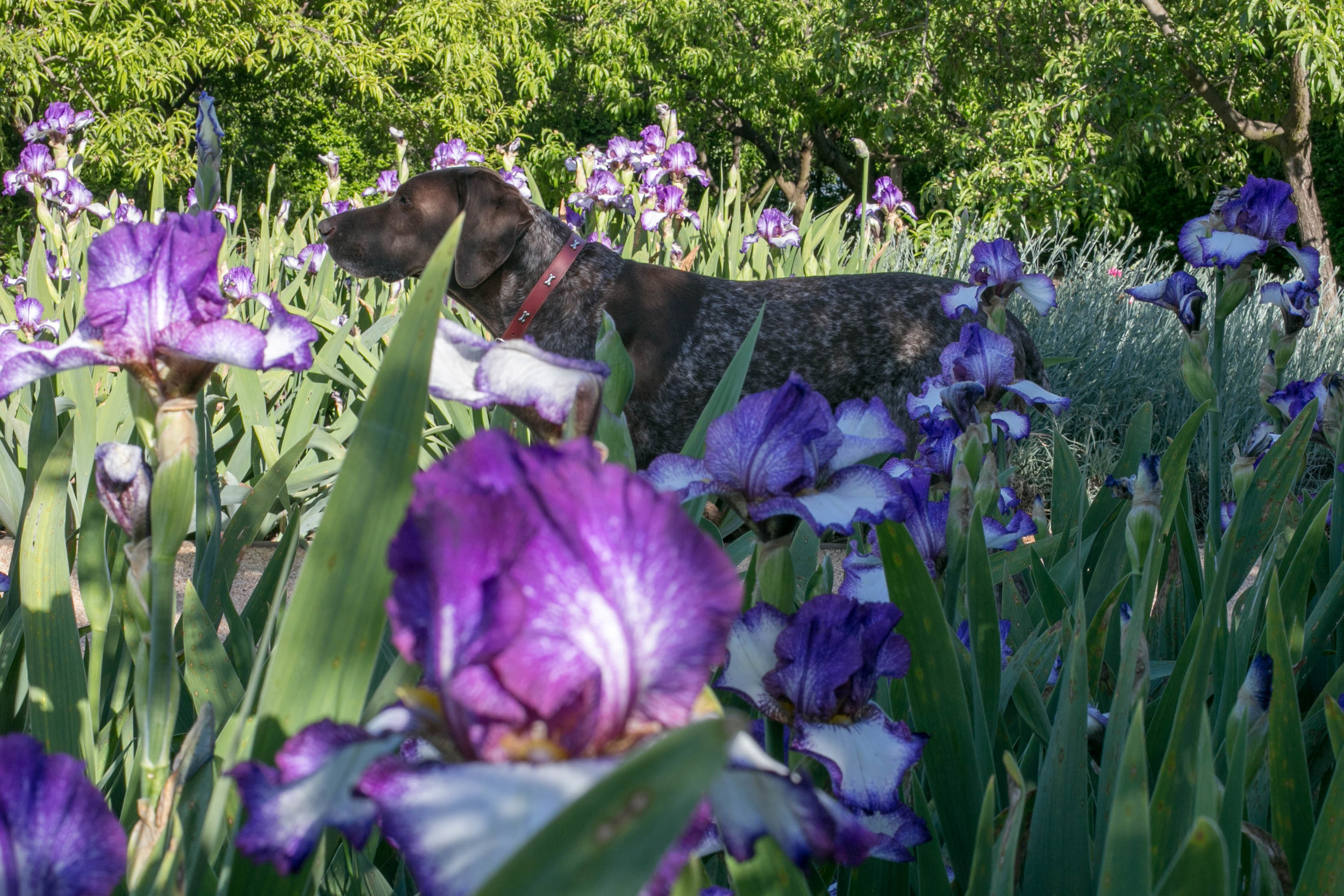 Buster on the peach orchard path flanked by Tall Bearded Iris