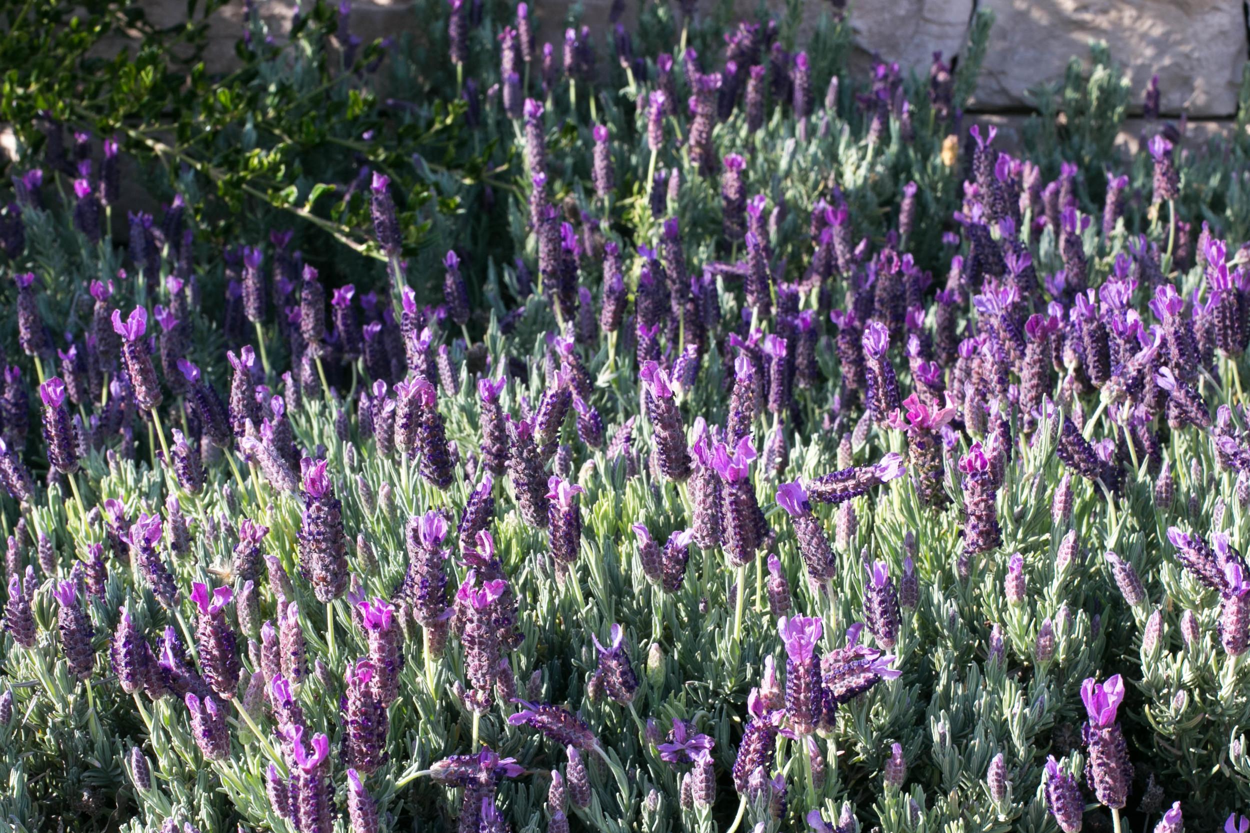 Spanish Lavender 'Otto Quast'