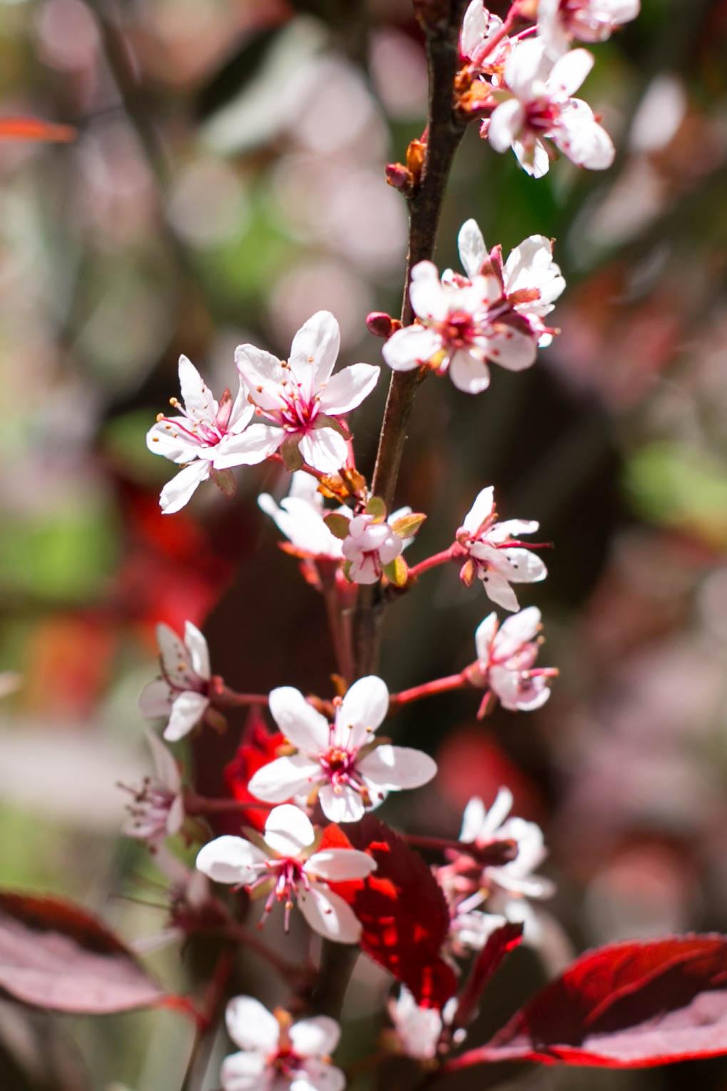 Purpleleaf Sand Cherry (Prunis cistena)