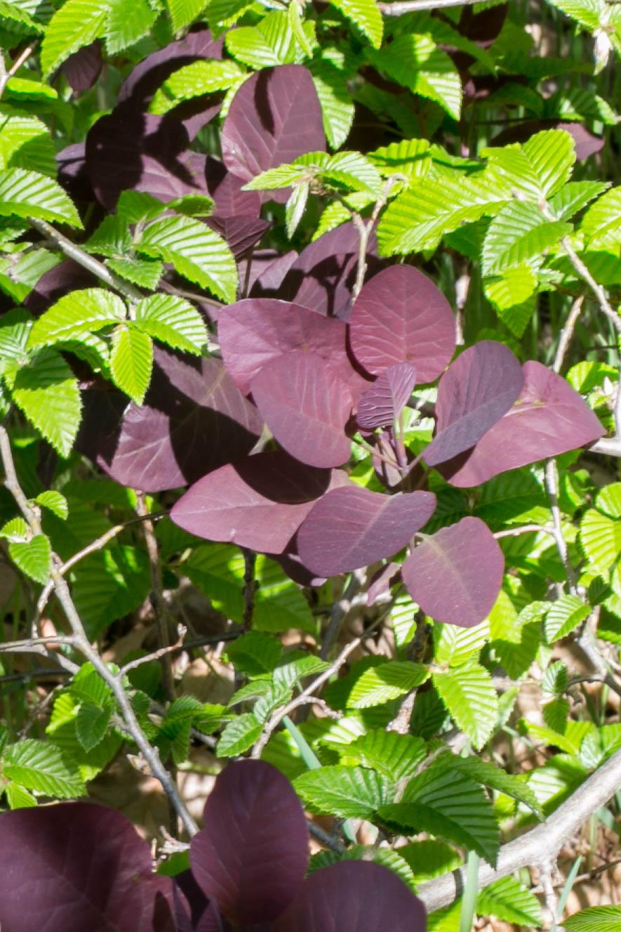 Purple Smoketree and Hornbeam