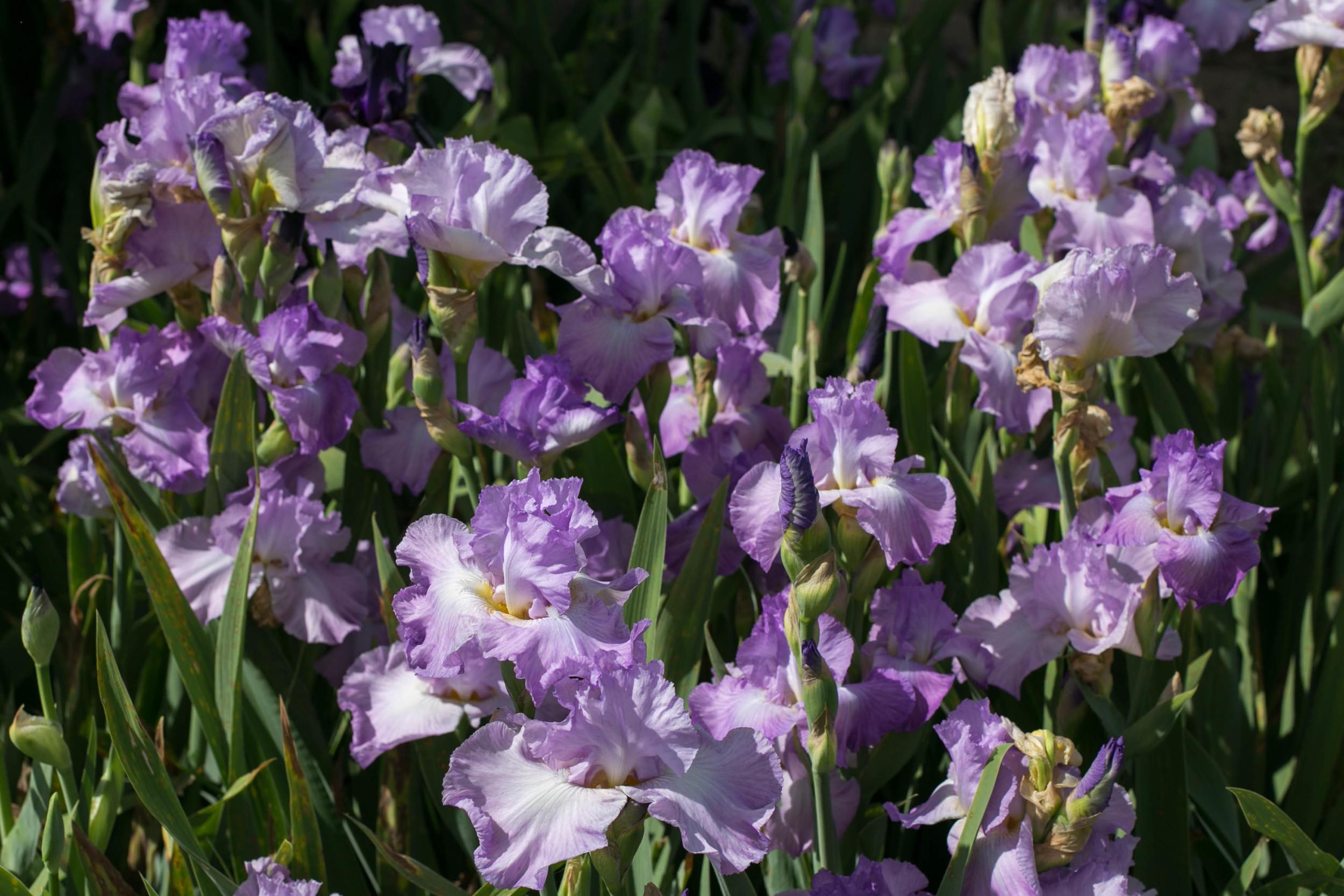 Tall Bearded Iris on the garden walk