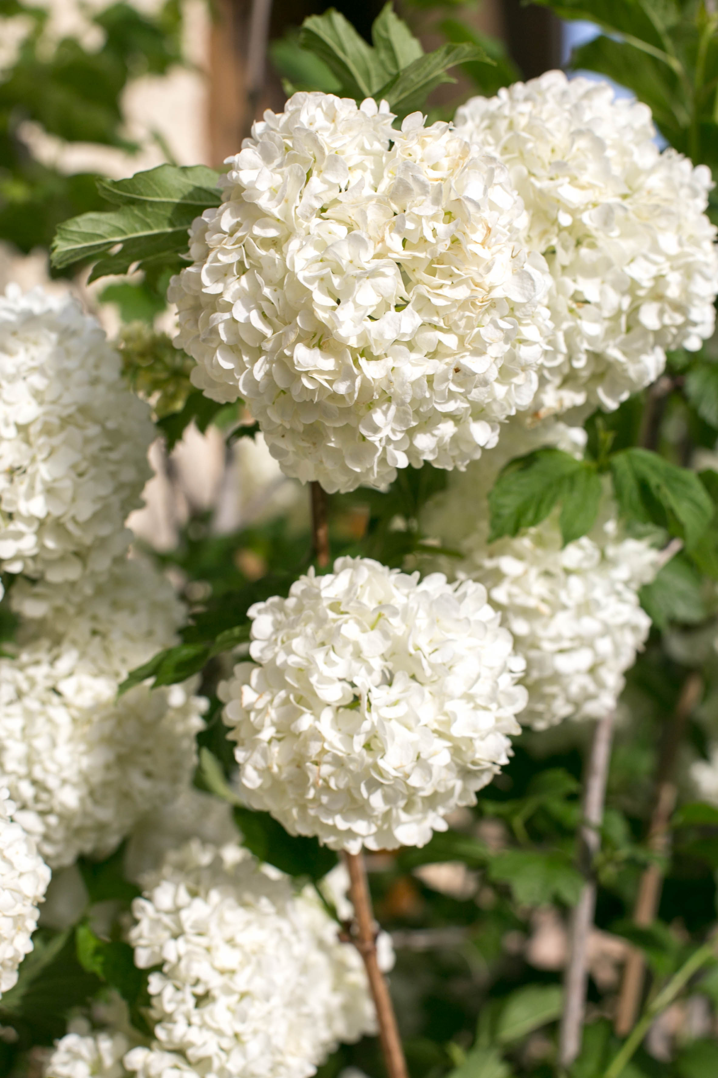 Eastern Snowball (Viburnum opulus). Masses of pure white, snowball-like flower clusters make a showy display. Bright green leaves have a purplish-red fall coloring.