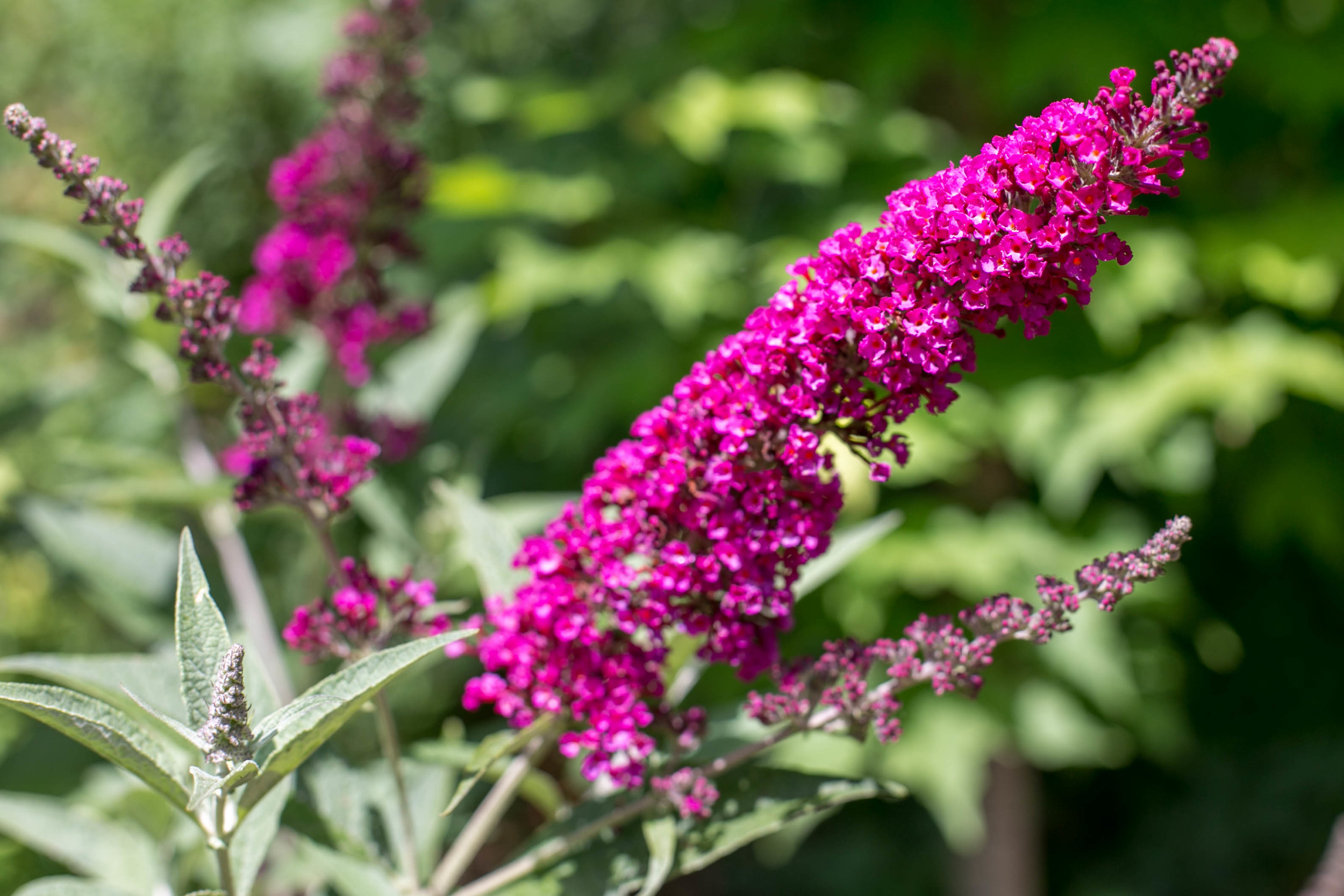 "Butterfly Bush (Buddleia 'Miss Molly"")"