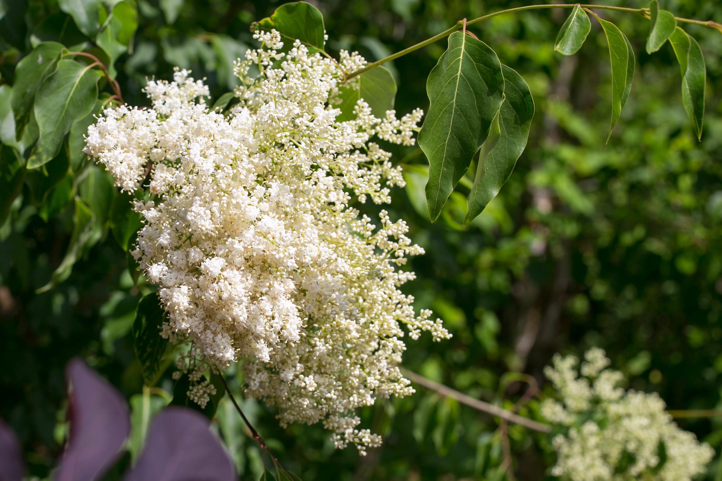 Peking Lilac (Syringa pekinesis)has large, creamy-white, honey-scented flower clusters
