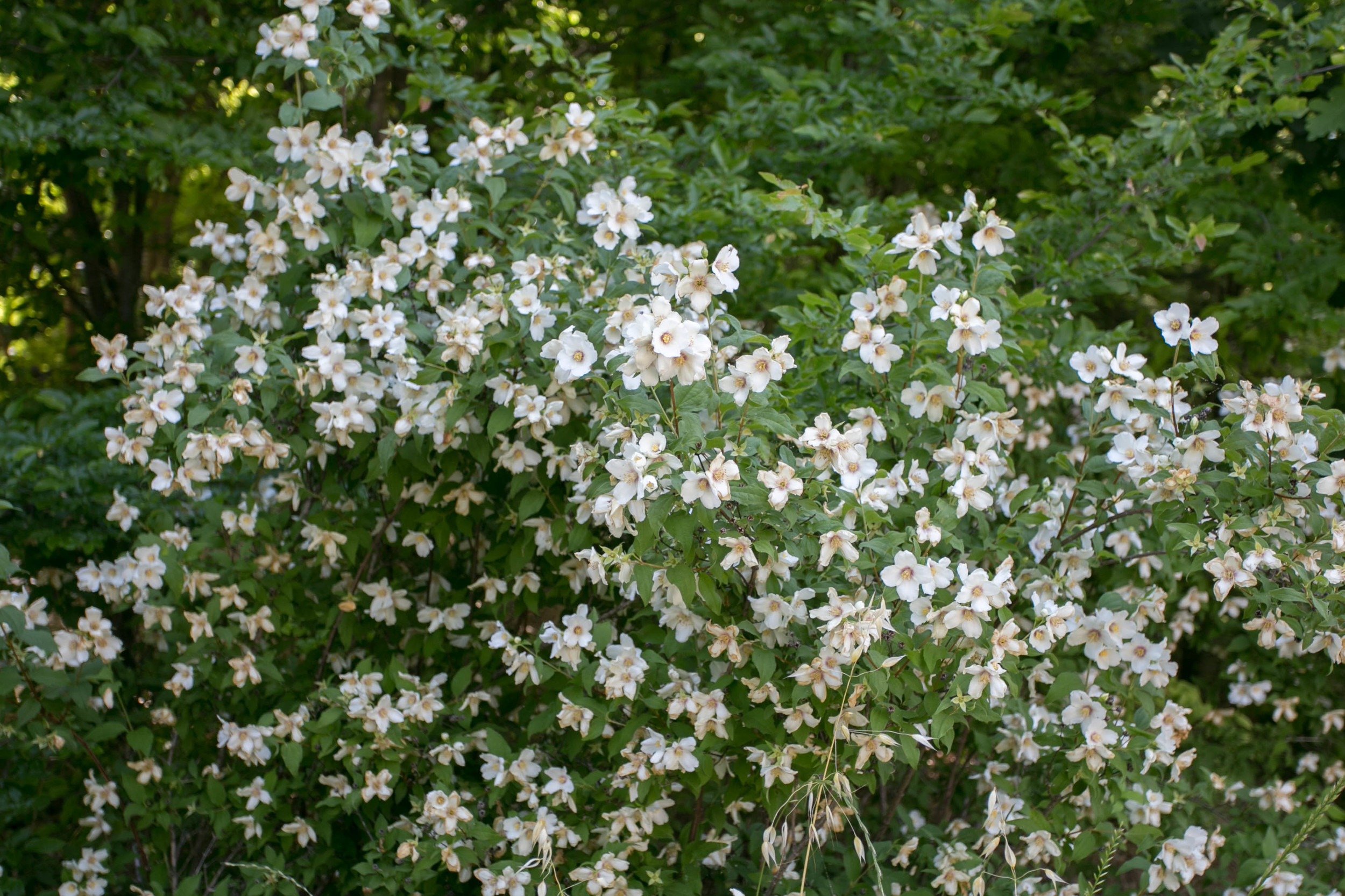 Lewis' Mock Orange (Philadelphus lewisii). The flowers have a heavy, sweet scent similar to orange blossoms with a hint of pineapple.