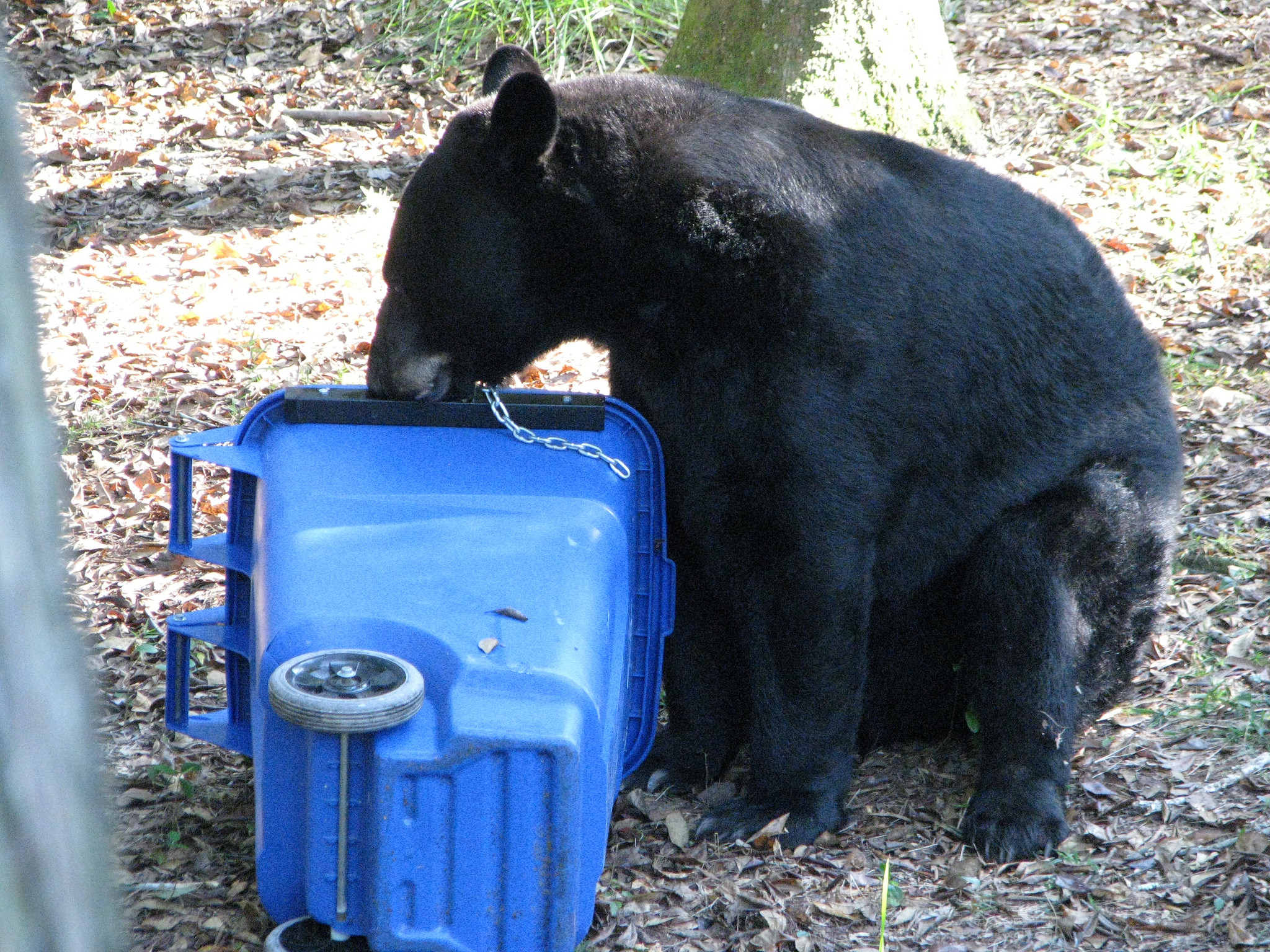 Black bears like this could be targets if a new hunting season is approved by Florida's FWC. They are expected to continue discussions at their April meeting in Tallahassee. Learn more  here...