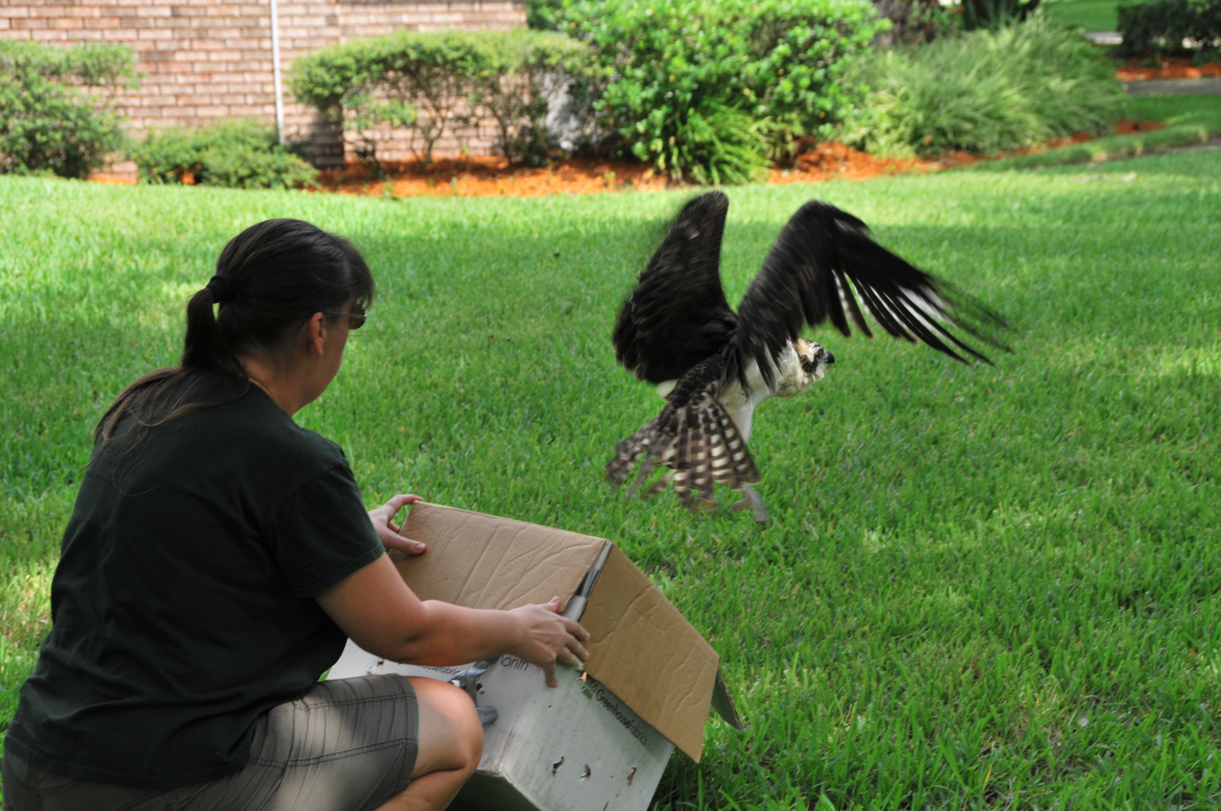 A volunteer from the Audobon Center for Birds of Prey in Maitland releases an osprey rescued by the author in Cocoa Beach last month. Photo by tedlund.com.