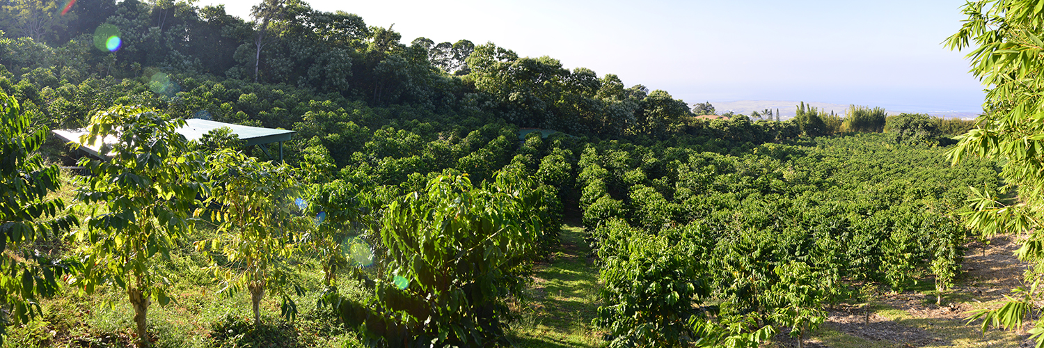 KarmaSu Estate Coffee Farm