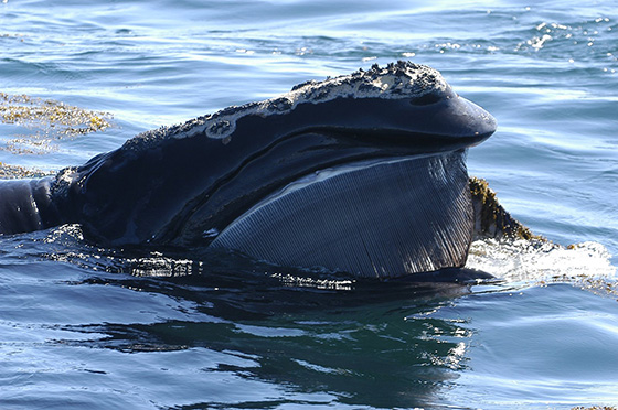 There are fewer than 500 North Atlantic right whales left. (New England Aquarium)