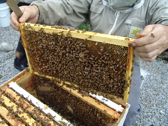 James Lawson, Rhode Island's state apiary inspector, routinely checks honeybee hives, such as this one at Rhode Island College in Providence, for mites. (Frank Carini/ecoRI News photos)