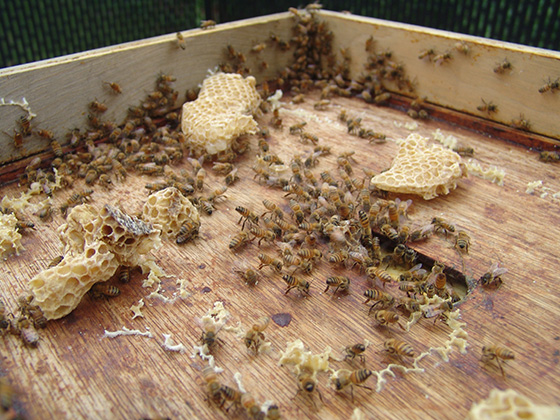 A healthy honeybee hive houses 40,000 to 50,000 bees, according to Rhode Island's state apiary inspector.