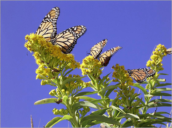 Monarchs congregate on goldenrod in Napatree Point Conservation Area. (Kristen Puryear/for RINHS)