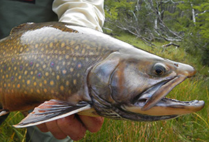 An adult brook trout can grow to be 10-12 inches long, and a few grow to 16 inches.
