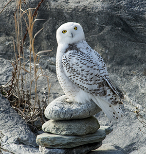 A snowy owl at Sachuest Point National Wildlife Refuge. (Ed Hughes)