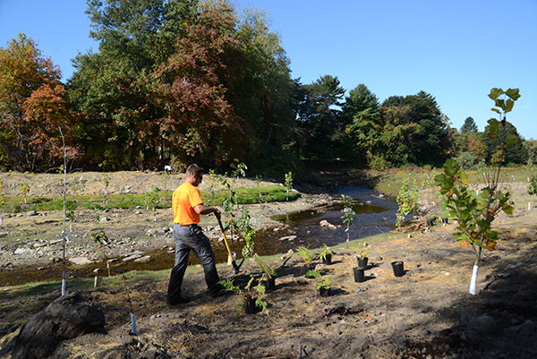 Workers plant trees at the site of the former Whittenton Dam in Taunton.