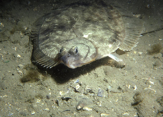 Since 1980, winter flounder in the Narragansett Bay watershed have declined by 90 percent. (NOAA)