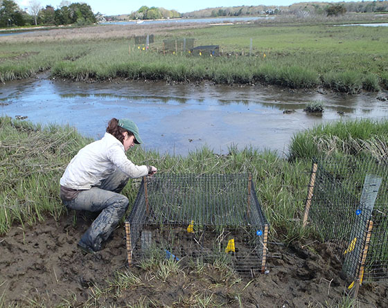 Sinead Crotty checks a cage that protects Sesarma crabs from predators. Excluding predators for a single growing season, the experiment showed these burrowing crabs more than doubled their consumption of marsh grass. (Brown University)