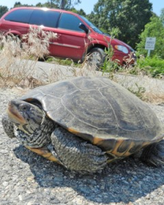 Much of Rhode Island's turtle population crosses local streets, such as this one in Barrington, in June to lay her eggs. (Tim Faulkner/ecoRI News)