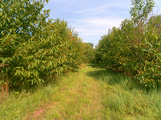 Medway's orchard of American chestnuts was planted in 2004.