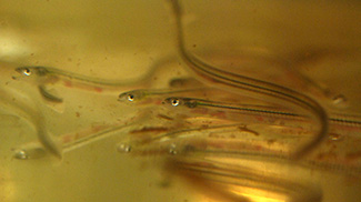 Elvers, also known as glass eels, are juvenile American eels, and Asia has a taste for them. (Fisherynation.com)