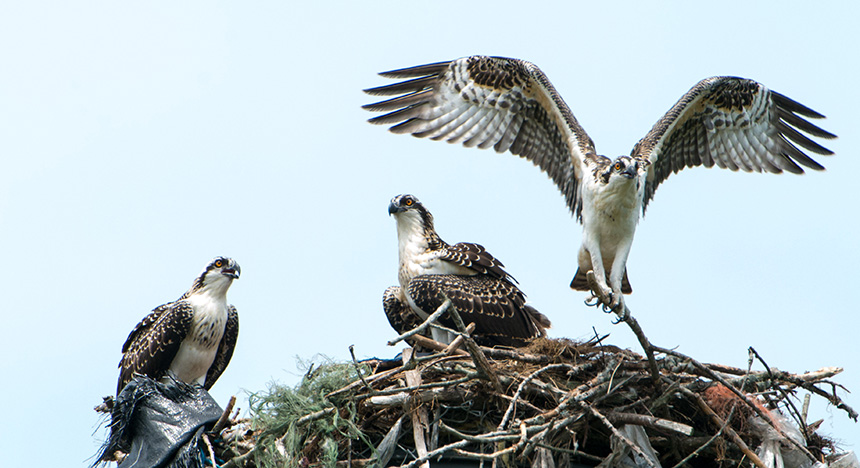 In 2014, 66 volunteers monitored 199 known osprey nest sites across Rhode Island. (Ed Hughes/for Audubon Society of R.I.)