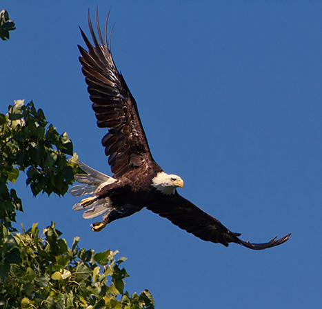 Bald eagles are returning to Rhode Island in growing numbers. (Heidi Piccerelli/for Audubon Society of R.I.)