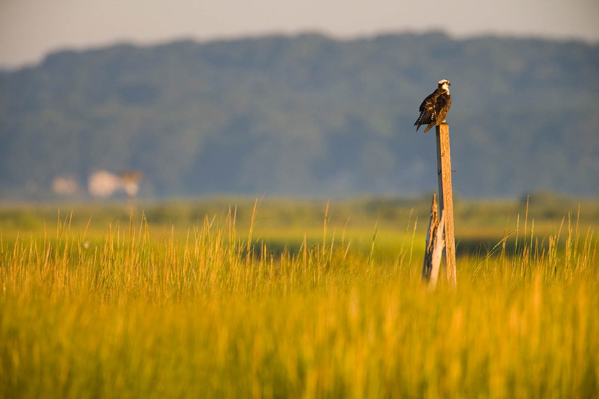 An osprey sits on a pole above the salt marsh at the mouth of the Connecticut River in Old Lyme, Conn. (Jerry Monkman/ Coastal Resilience )