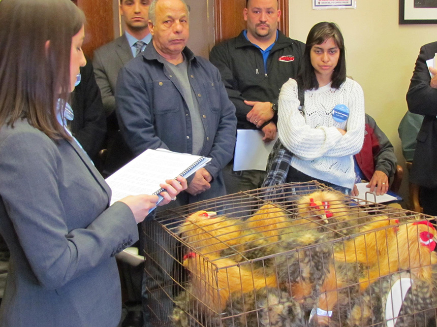Sarah Swingle of The Humane Society of the United States wants to outlaw battery cages in Rhode Island. She presented a battery cage with eight fake hens at a recent Statehouse hearing. (Tim Faulkner/ecoRI News)
