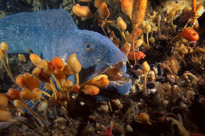 Cashes Ledge is home to a depleted Atlantic wolffish population. (Brian Skerry/CLF photos)
