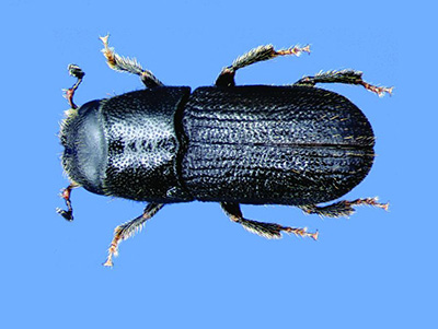 Southern pine beetles are just 2-4 millimeters in size.