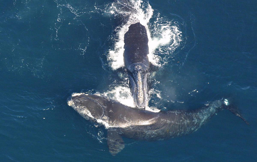 North Atlantic right whales had the unfortunate distinction of being named by the whaling industry because they were the 'right whale' to hunt. They are easy to harpoon and float after death. (NOAA)