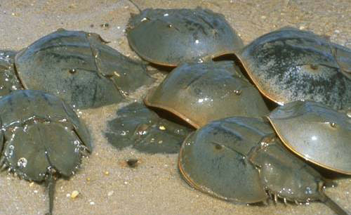 Horseshoe crabs  are a marine arthropod found along the Atlantic coast from northern Maine to the Gulf of Mexico. Delaware Bay supports the largest spawning population in the world. (Mass Audubon)
