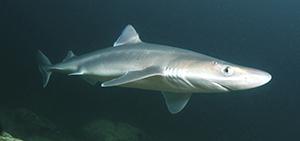 Dogfish (istock)