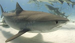 Tiger shark (istock)