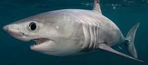 Porbeagle (Doug Perrine/for The Pew Charitable Trusts)