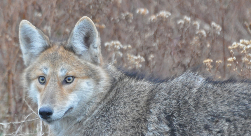 Coyotes are always on high alert when it comes to sniffing out subsidized food sources, like unsecured trash cans and poorly secured livestock feed. (The Conservation Agency)
