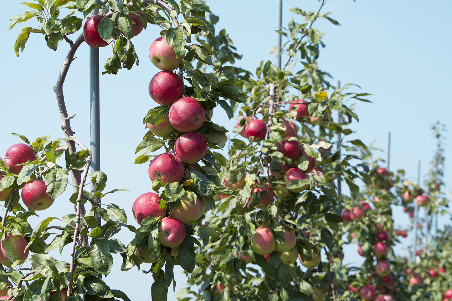 Sweet Berry Farm features dwarf apple trees that, instead of growing up and out, are trained to grow up poles.