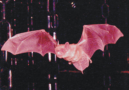 This photo of a big brown bat, not to be confused with the little brown bat, was taken at the Bat Lab run by James Simmons at Brown University.