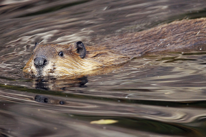 Beavers, like all of Mother Nature's creatures, play an important role in ecosystem health. (istock)