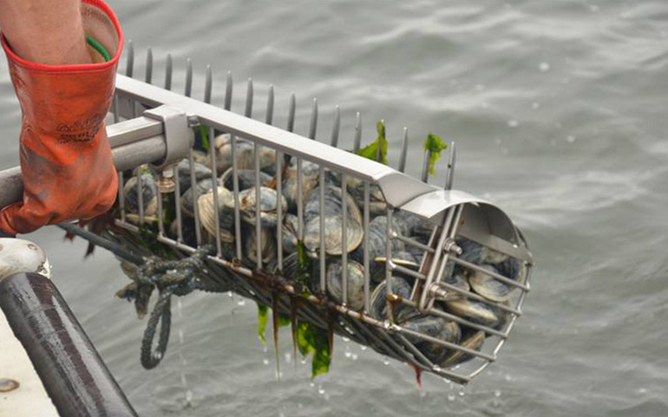 Nearly 40 million clams were harvested from Narragansett Bay in 2012, according to Rhode Island Sea Grant. In Rhode Island, commercial shellfishermen use a bull rake for harvesting clams. (R.I. Sea Grant)