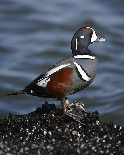 Harlequins are a favorite of wildlife photographers looking to photograph sea ducks. (Audubon Society)
