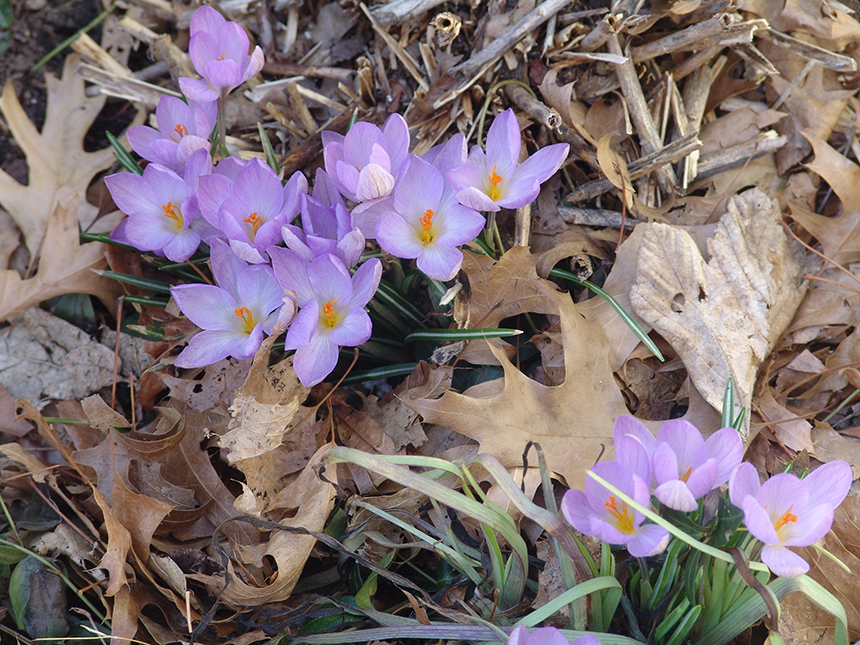 Periods of warm weather in February triggered crocuses, like these ones on John Street in Providence, to sprout about a month before they usually do. (Frank Carini/ecoRI News)
