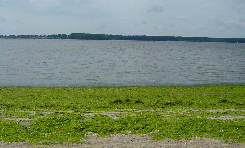 Macroalgal blooms cover a Rhode Island beach on Greenwich Bay. As the massive green mats wash up on beaches and take over shallow areas, they block needed light and deplete oxygen in the water column. (URI Thornber lab)