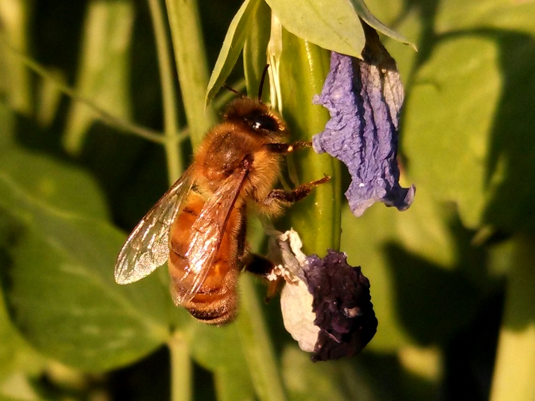 The loss of natural fields, climate change, disease and varroa mites all threaten honeybees. The toxicity of neonicotinoids has been shown to disorient them. (Kevin Proft/ecoRI News)