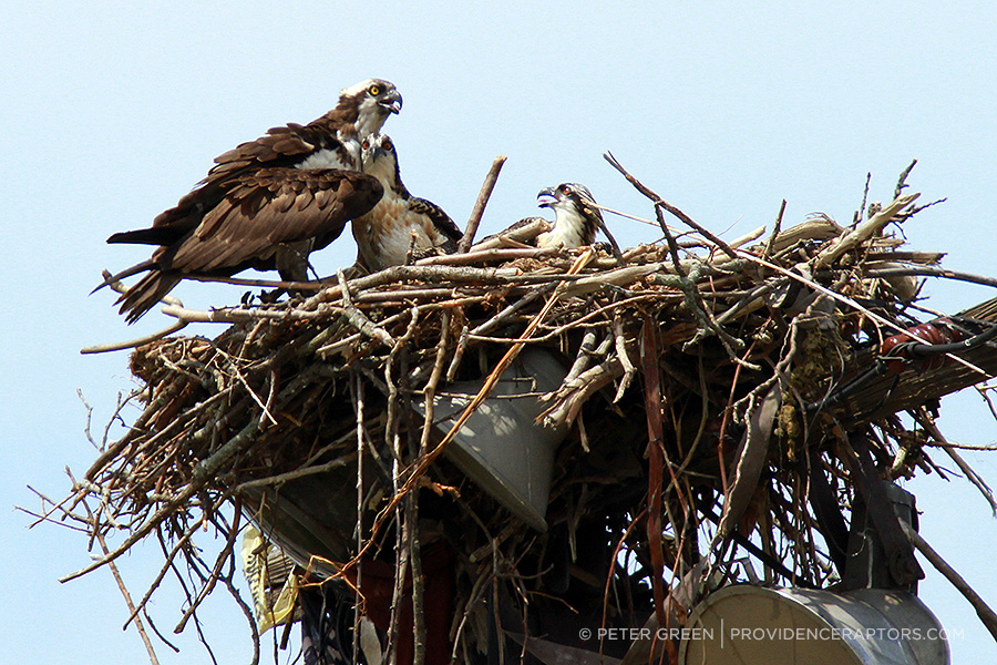 The osprey population in Rhode Island is rising. As more birds search the densely developed coastline for suitable habitat, telephone poles and roofs are standing in for more natural nesting sites. (Peter Green/Providence Raptors)