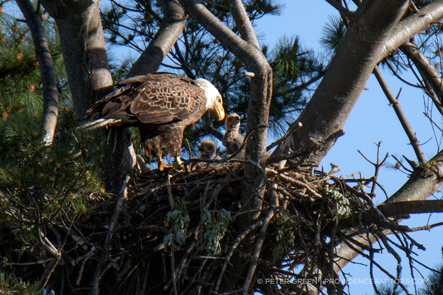 Last year, a pair of bald eagles moved into a nest previously used by red-tailed hawks. The nest is a 10-minute drive from downtown Providence, and one of four know bald eagle nests in Rhode Island. (Peter Green/Providence Raptors)
