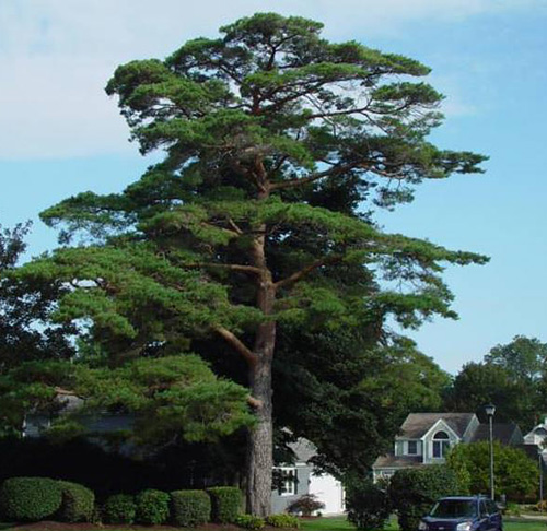 'Champion' trees take time to mature, at least a hundred years. (R.I. Tree Council)
