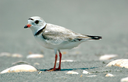 Threatened piping plovers can be found on Atlantic Coast beaches extending from North Carolina to Maine. (DOI)