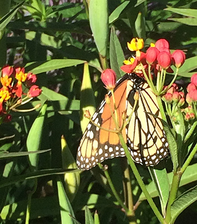 In about a month, monarchs transform from tiny eggs to larval caterpillars, to pupa encased in a silken chrysalis to adult butterflies.