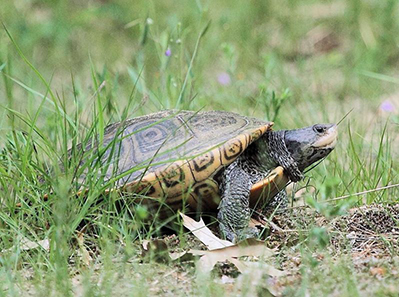 Diamondback terrapins are the only turtle in the Ocean State adapted for life in salt marshes, coves and other quiet brackish waters. (Rhode Island Natural History Survey)